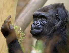 """Khỉ đột chĩa ngón giữa lên trêu ngươi """"paparazzi"""""""