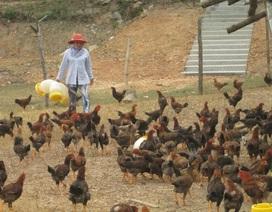 Tiêu hủy hơn 2.000 con vịt bị cúm gia cầm