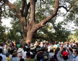 20 cây xoài Chùa Từ Quang được công nhận là... Cây Di sản Việt Nam