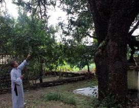 Quần thể 20 cây xoài Di sản chùa Đá Trắng kêu cứu khẩn cấp