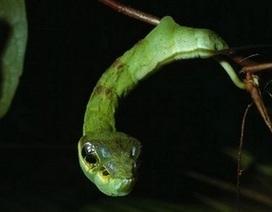 Kỳ lạ loài sâu có hình dáng đáng sợ giống hệt rắn
