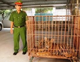 Phát hiện hai cá thể hổ nuôi nhốt trong nhà dân
