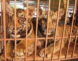 Mời Viện Sinh thái thẩm định hai con hổ được dân nuôi nhốt