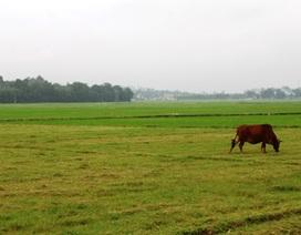 Một nữ sinh đột tử khi đi chăn bò