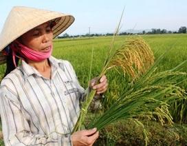 Nông dân xót xa cắt lúa cho bò ăn