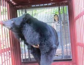 Bảo tồn cá thể gấu cuối cùng của đảo Cát Bà