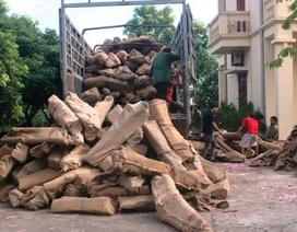 Bắt giữ 60 tấn gỗ trắc trên đường tuồn lậu sang Trung Quốc