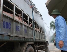 Mừng lo chuyện thương lái Trung Quốc ồ ạt gom mua lợn mỡ
