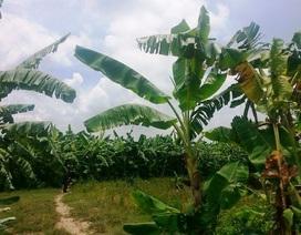"""Hưng Yên: Hàng chục hecta bãi bồi trù phú ngã ba sông bị """"bán chui"""" trái thẩm quyền?"""