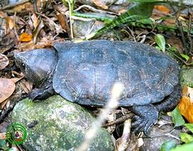 Nâng cấp mức độ bảo vệ 12 loài rùa Việt Nam