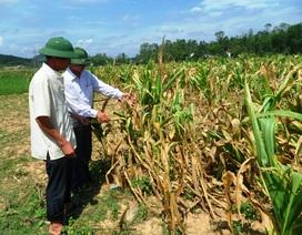Nắng nóng kéo dài, nền sản xuất nông nghiệp bị đe dọa
