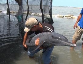 Hàng chục người nỗ lực giải cứu cá heo mắc cạn