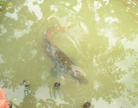 """Thăm đàn cá hải tượng """"nghìn con"""" ở Tây Ninh"""