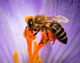 Nọc ong có thể ngăn chặn virus HIV