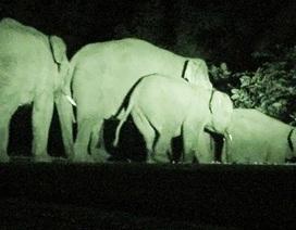 Xuất hiện đàn voi hoang dã 20 con phá hoại hoa màu