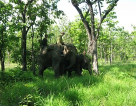 Vết thương voi rừng dính bẫy đang lành lại