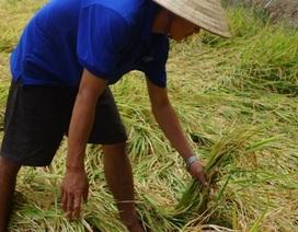 Đồng Tháp từ chối tổ chức Festival lúa gạo 2014