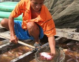 1 kg cá điêu hồng lãi gấp chục lần 1kg lúa