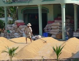 Giá lúa tụt thảm, nông dân được mùa cũng khóc!