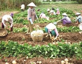 Trồng củ đậu, thu 500 triệu đồng mỗi hecta