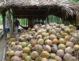 Dừa khô tăng giá vùn vụt