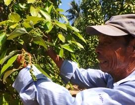 Giá tiêu tăng cao, nông dân thu về bạc trăm triệu