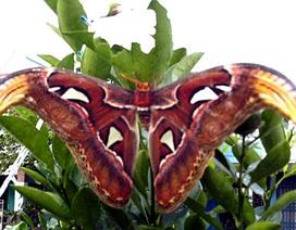Phát hiện bướm khổng lồ sải cánh gần 50 cm