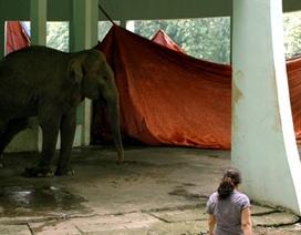Hà Nội: Voi một ngà trong vườn thú Thủ Lệ tử vong