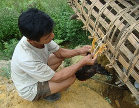 Gặp lão nông mở trang trại trên núi cao nuôi gà chín cựa