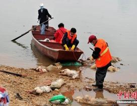 Trung Quốc: Hàng trăm lợn chết lại bị thả trôi sông