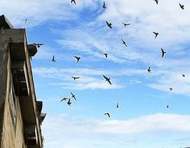 Đà Nẵng:  Hạn chế nuôi chim yến trong nội thành