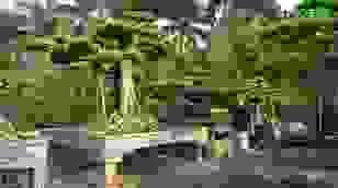 Chiêm ngưỡng cây sanh dáng cột cờ Hà Nội giá gần 2 tỷ đồng