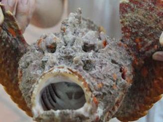 Loài cá xấu xí khiến thực khách kinh hãi nhưng lại là đặc sản ngon trứ danh