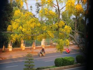 Thành phố trẻ nhất Tây Nguyên rực rỡ sắc vàng của hoa osaka