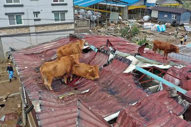 Giải cứu đàn bò mắc kẹt... trên mái nhà vì mưa lũ