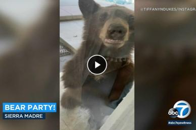 Gấu đột nhập nhà dân qua cửa sau tìm thức ăn, nước uống