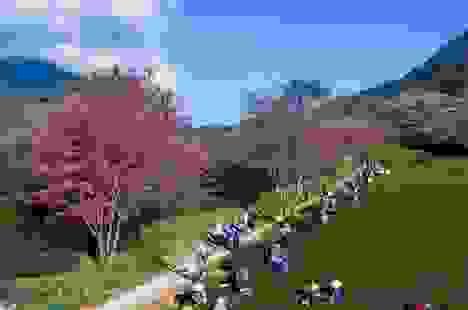 Hoa anh đào Nhật khoe sắc hồng tuyệt đẹp trong nắng thu Sa Pa