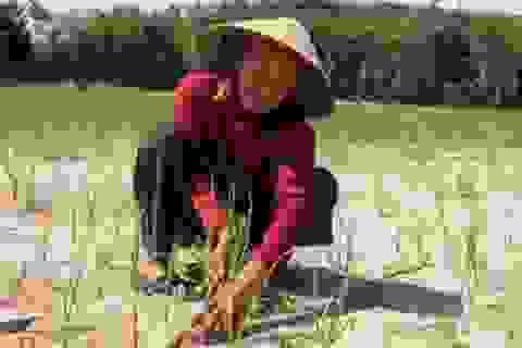 Dân Lý Sơn khóc ròng trên những ruộng tỏi thất thu