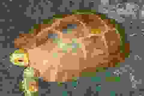 Rộ tin bắt được rùa vàng, bán giá 300 triệu đồng