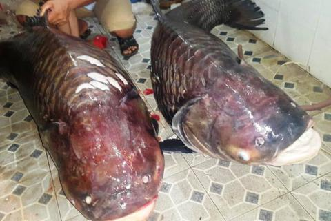 """Cặp cá hô """"khủng"""" nặng hơn 250kg từ Lào về TPHCM"""