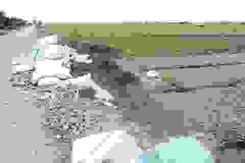 Khoai lang rớt giá, nông dân bỏ đống đầy đồng, quay về với lúa