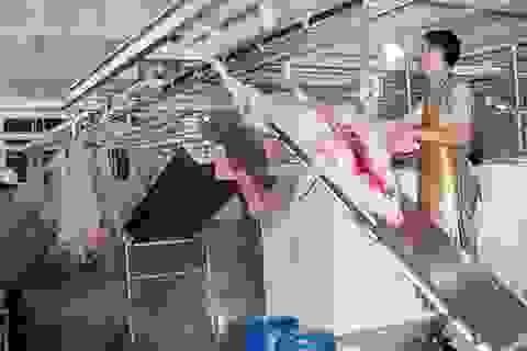 """Lò mổ công nghiệp """"chết yểu"""": """"Thịt bẩn"""" còn đất sống"""