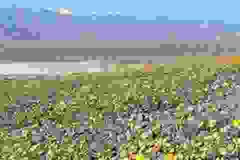Mỹ: Thung lũng Chết bừng nở bạt ngàn hoa