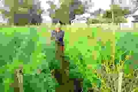 Trồng măng tây xanh thu nhập gần tỷ đồng mỗi ha