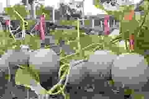 Lão nông U60 tự tin đầu tư trăm triệu trồng dưa ngoại