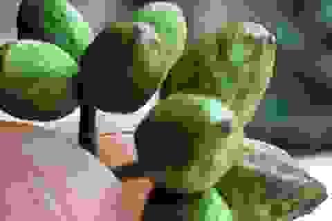 Vào rừng lùng hái trái đắng kiếm gần nửa triệu mỗi ngày