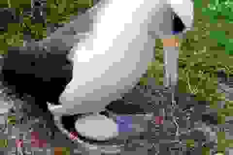 Chim biển già nhất thế giới đẻ trứng ở tuổi 66