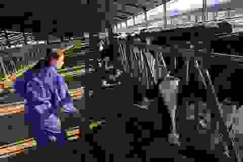 Hiếm có Việt Nam: Thị trấn 600 tỷ phú, lái ôtô dạo thăm bò