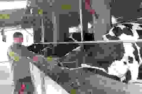 """""""Kỹ sư"""" bò sữa thu nhập gần nửa tỷ đồng mỗi năm"""