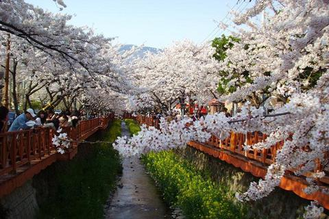 Đến Hàn Quốc ngắm mùa hoa anh đào nở